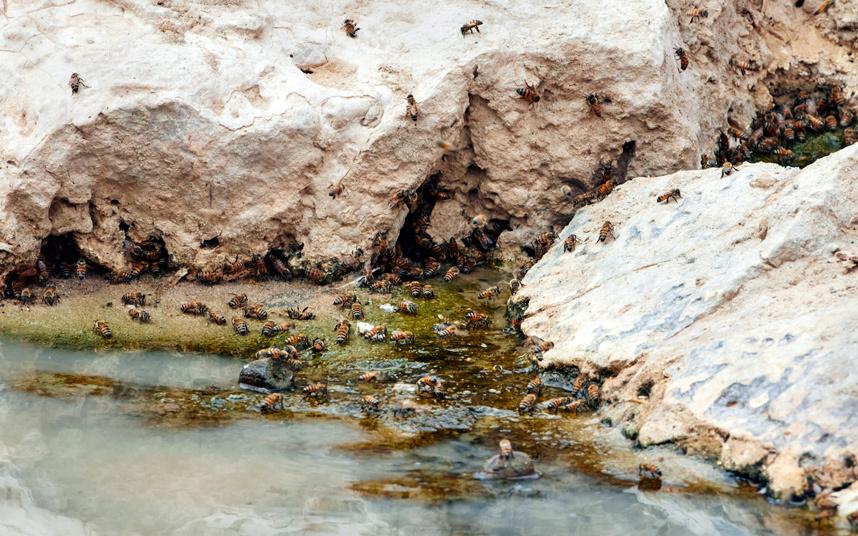 Bees at water