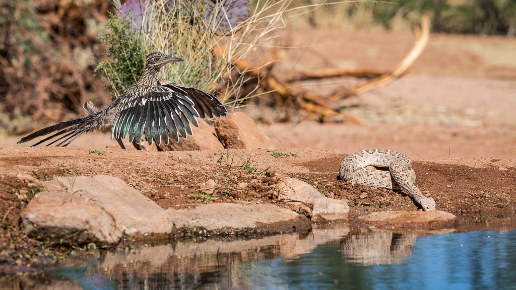 Roadrunner and Rattlesnake at watering hole
